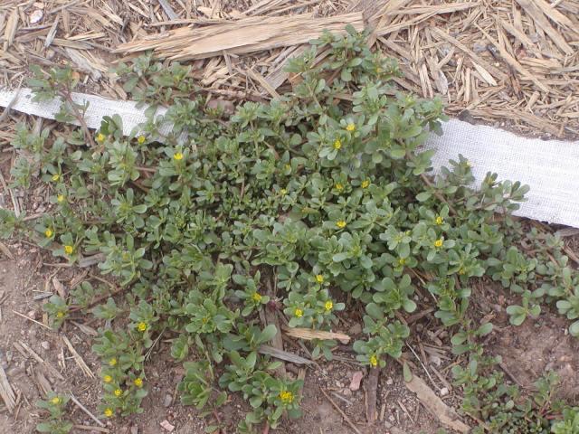 Healthy purslane plant