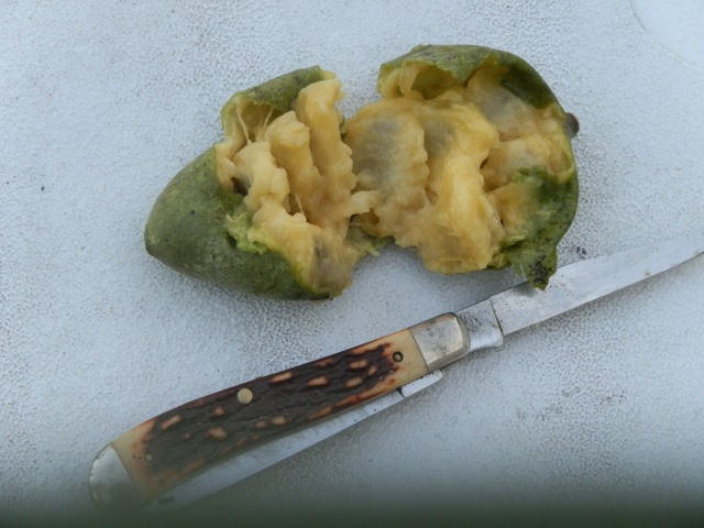 mature pawpaw showing flesh