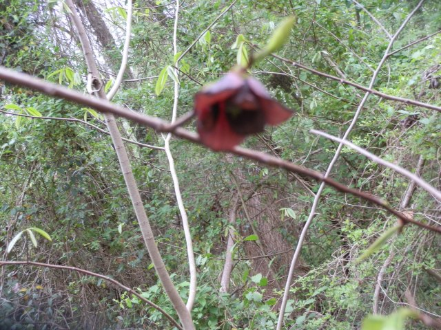 Pawpaw flower in mid-April on the edge of the canebrakes in eastern North Carolina