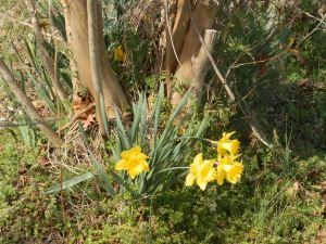 Daffodils under crape myrtle