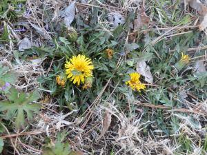 Dandelion in dormant turf