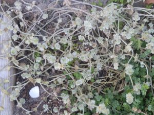 powdery mildew on henbit