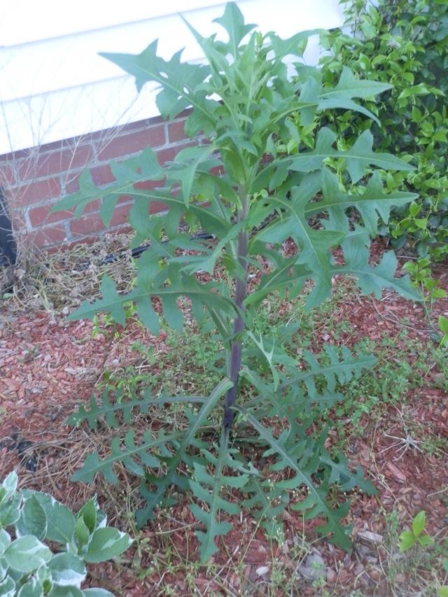 Older prickly lettuce plant