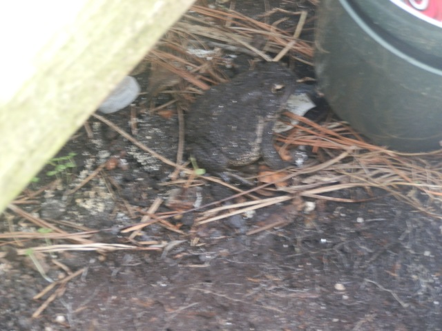 American toad waiting for insects