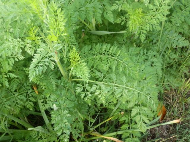 wild carrot foliage