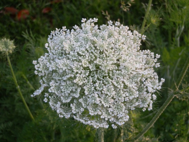 Closeup of Daucus flower