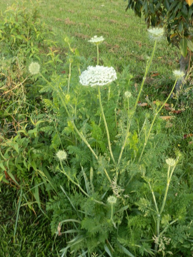 wild carrot with developing flowers