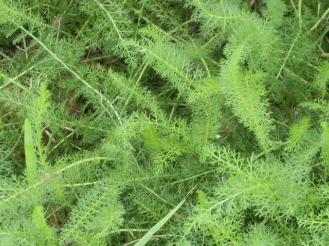 yarrow foliage