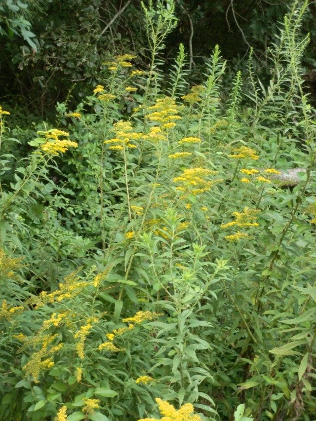 stand of goldenrod