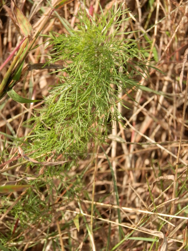 young dogfennel plant in fall