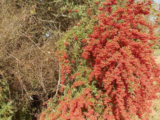 pyracantha with fruit