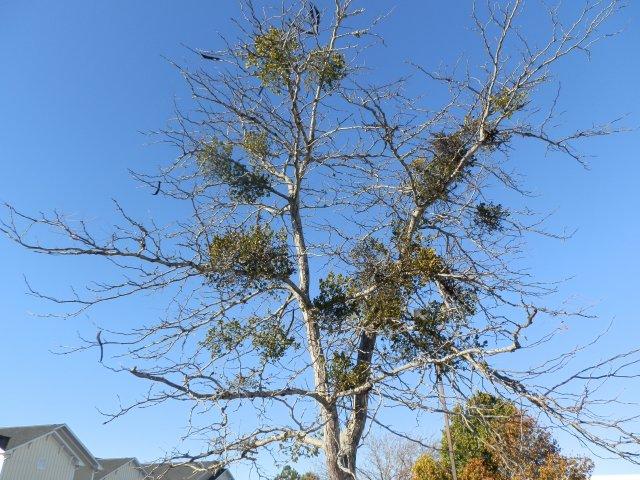 Honeylocust tree loaded with mistletoe