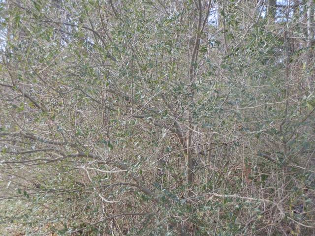Chinese privet thicket