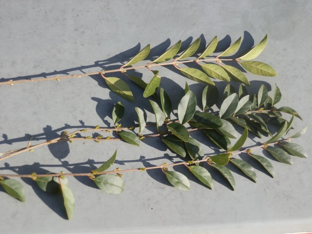 Chinese privet: lower leaf surface (above) and upper leaf surface (below)