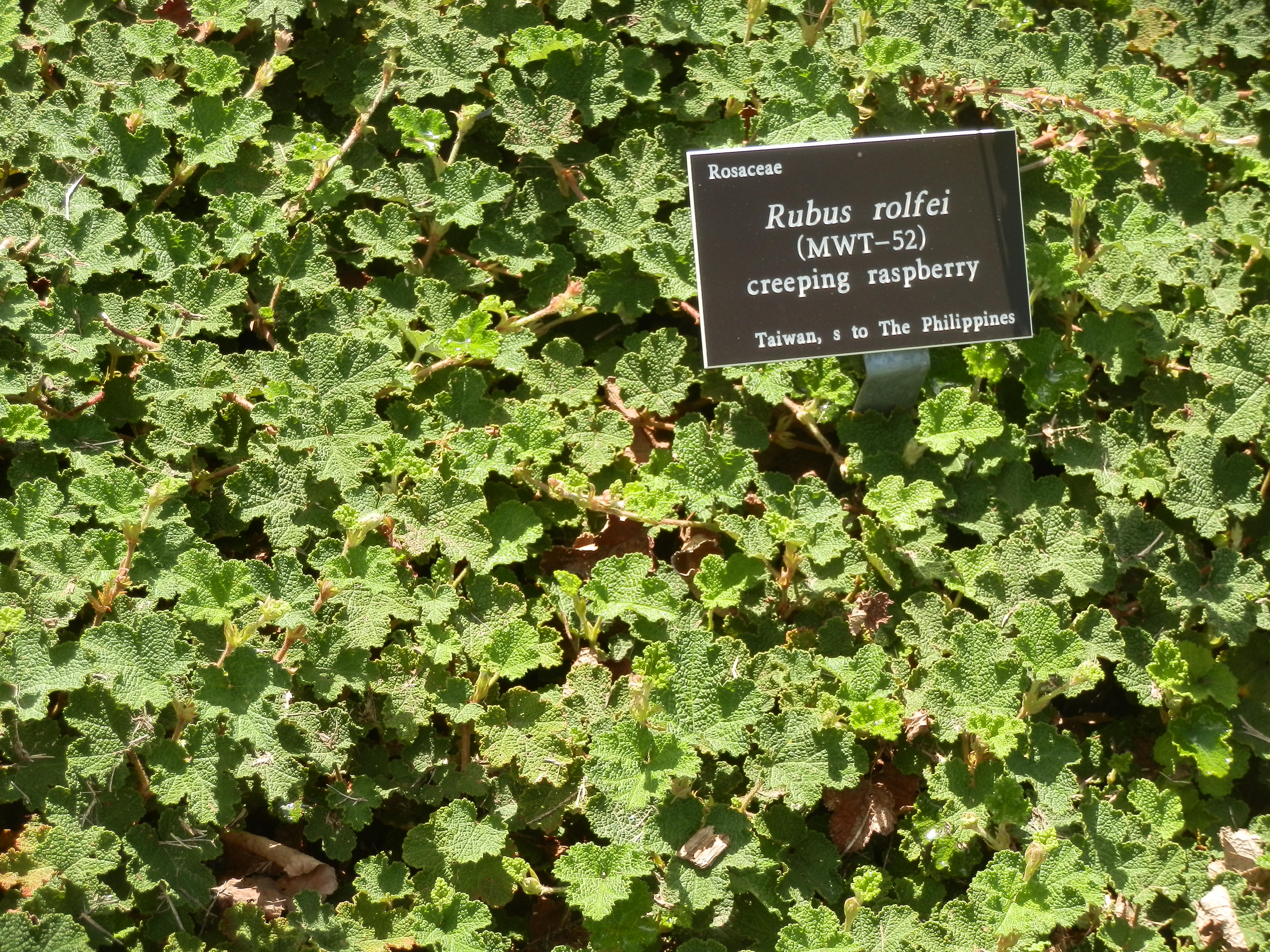 creeping raspberry is a heat tolerant edible ground cover tedmanzer