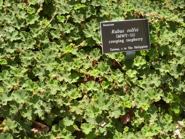 Nice stand of creeping raspberry at the North Carolina State University arboretum