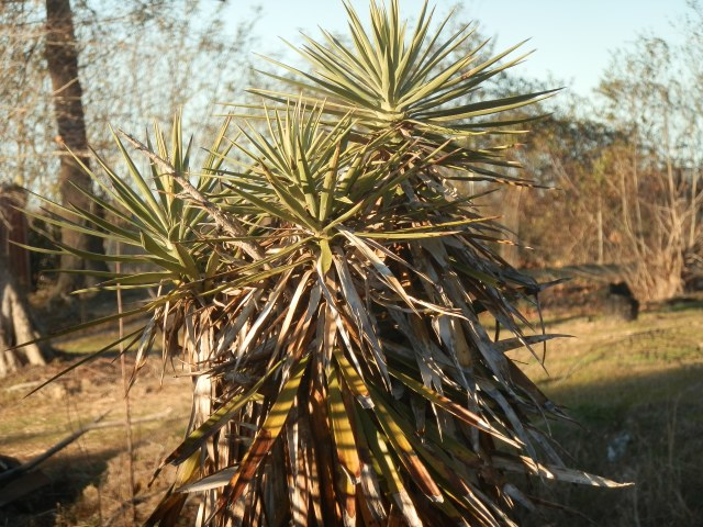 Large Yucca on the side of the road in eastern North Carolina in late January