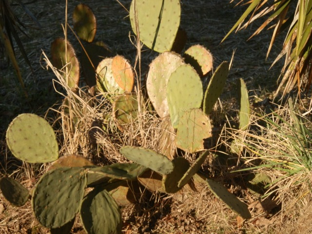 Prickly pear growing on the side of the road in eastern North Carolina