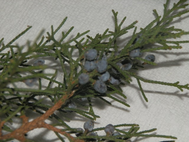 close-up of blue bery-like cones in artificial light