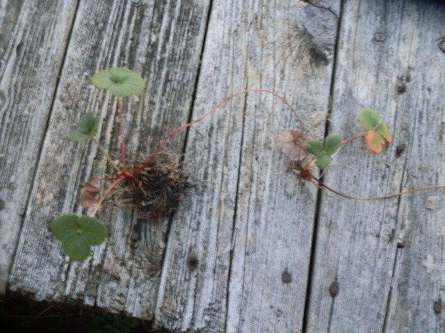 Wild strawberries dug up and ready for transplanting