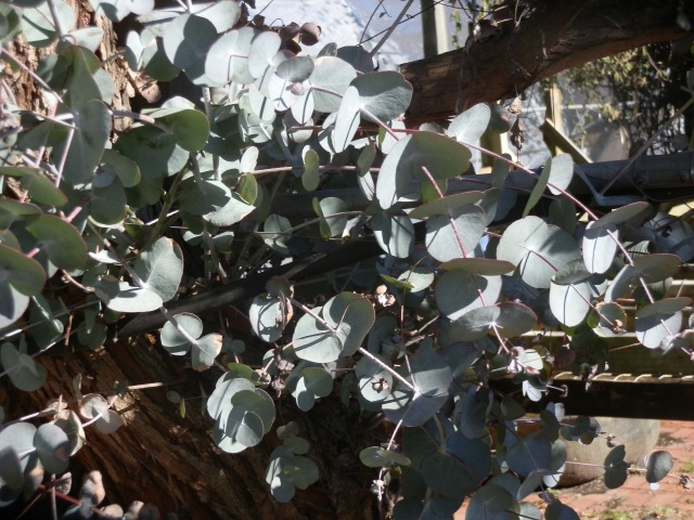 Eucalyptus foliage sprouting after some winterkill