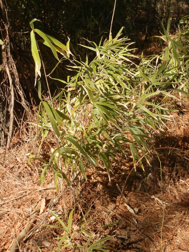 Small cane patch on the edge of some loblolly pines