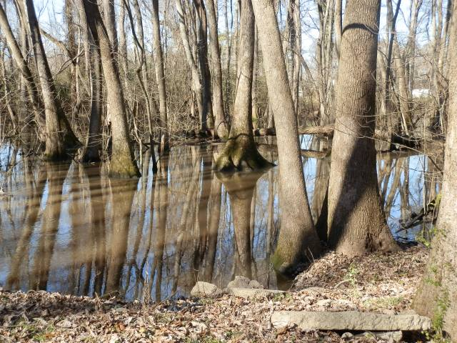 An eastern North Carolina tupelo swamp in late January