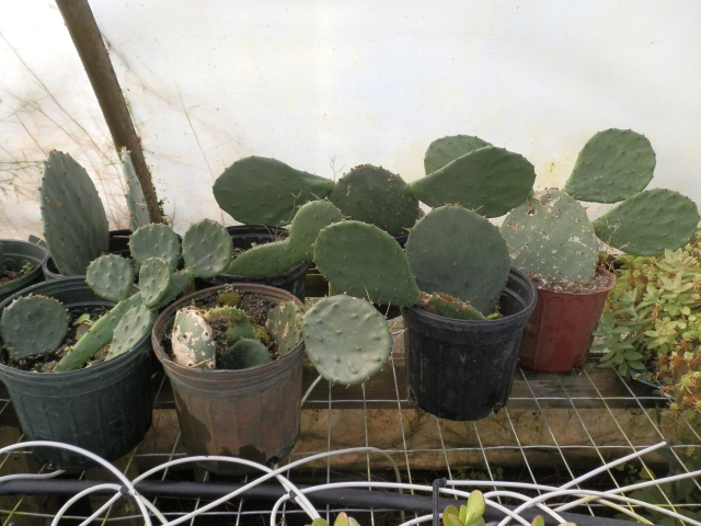 A few prickly pears growing in our propagation house