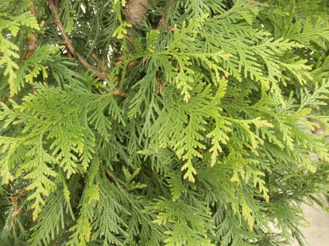 Healthy arborvitae foliage