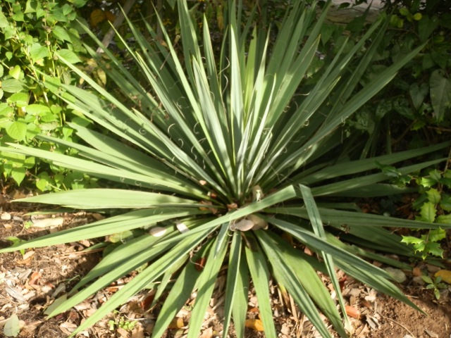 Young yucca in a landscape