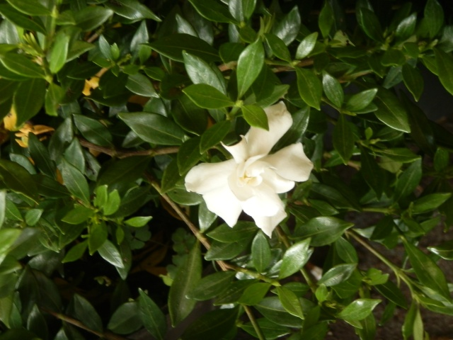A healthy gardenia in early fall