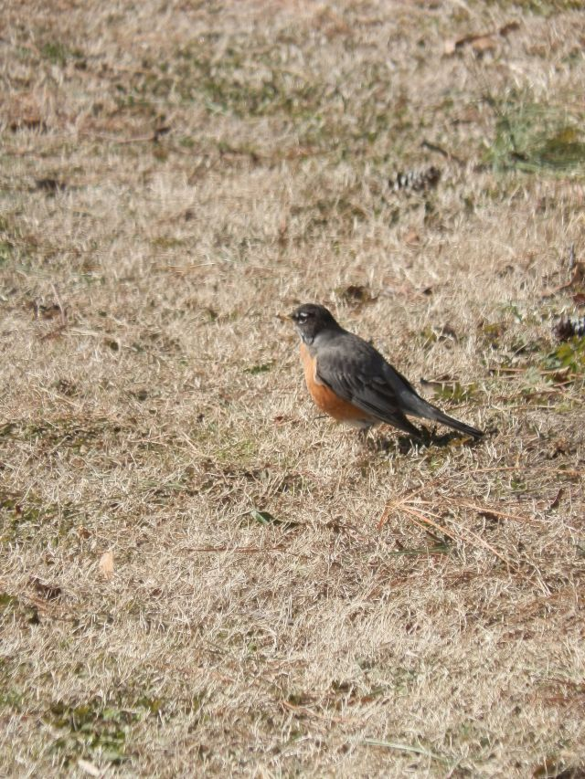 Bright sun brings robins into the open even if it's only 15 degrees fahrenheit