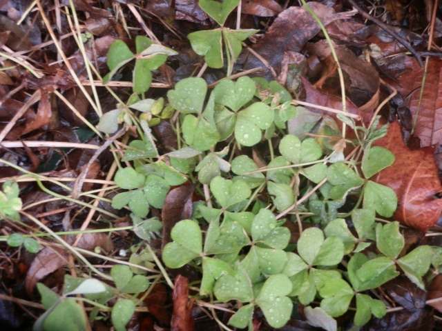 Oxalis growing in early March