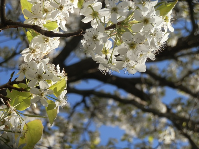 Showy callery pear flowers aren't so inviting to olfactory senses