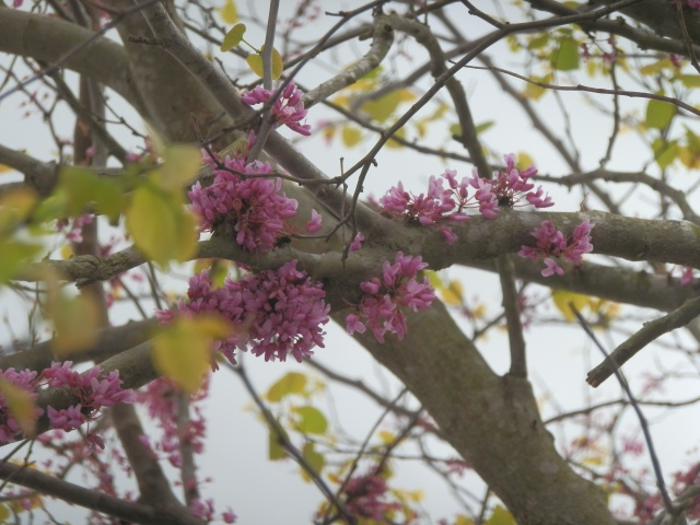 Close-up of redbud blossoms