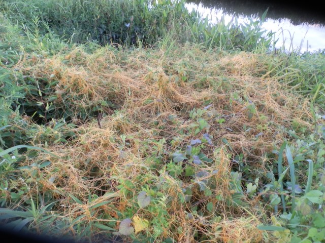 A healthy stand of dodder along a ditch