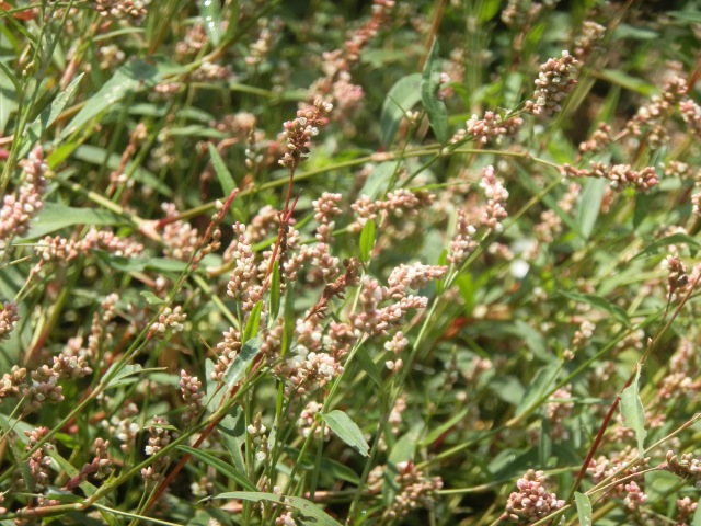 A thick stand of smartweed in flower