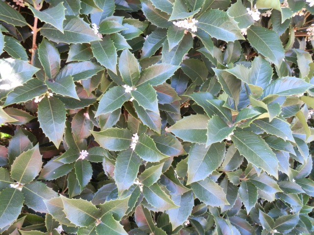 close-up of Osmanthus foliage