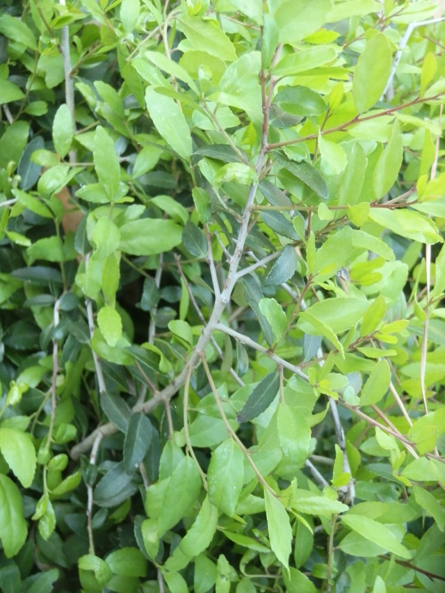 yaupon holly shrub that has been butchered several times