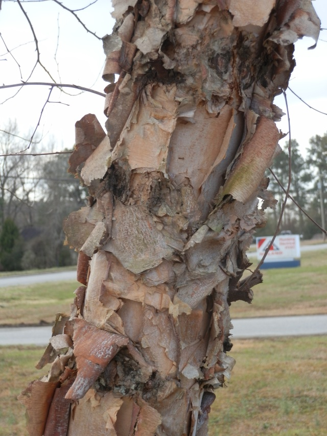 flaky river birch bark