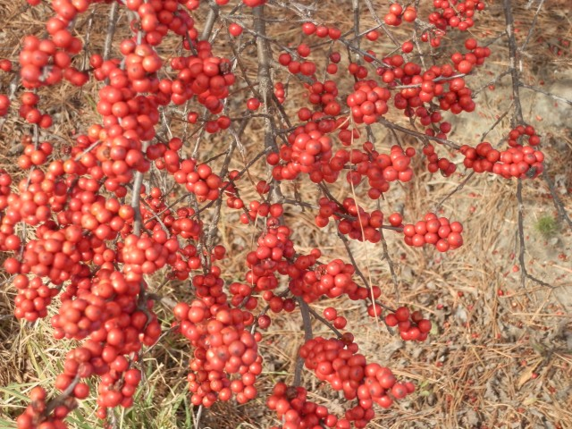 Prolific clusters of winterberry fruits