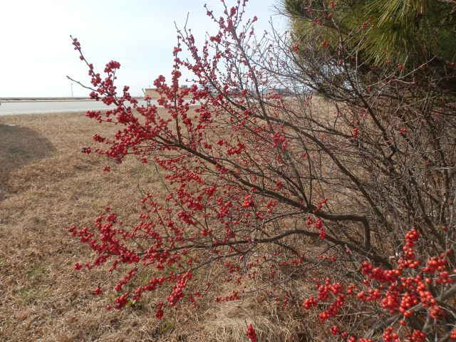 winterberry holly bush being taken over by pine trees