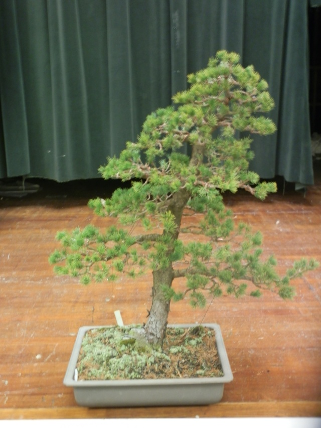 A Japanese 5-needle pine bonsai by Julian Adams