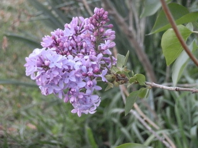 My old purple lilac is still hanging in there.