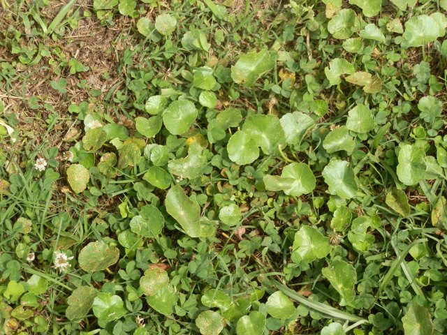 Marsh pennywort emerging in a poorly maintained scalped lawn