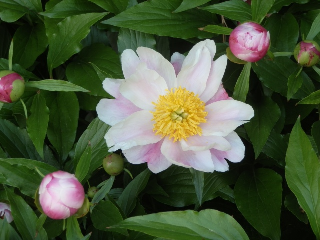 Attractive single peony showing all flower parts