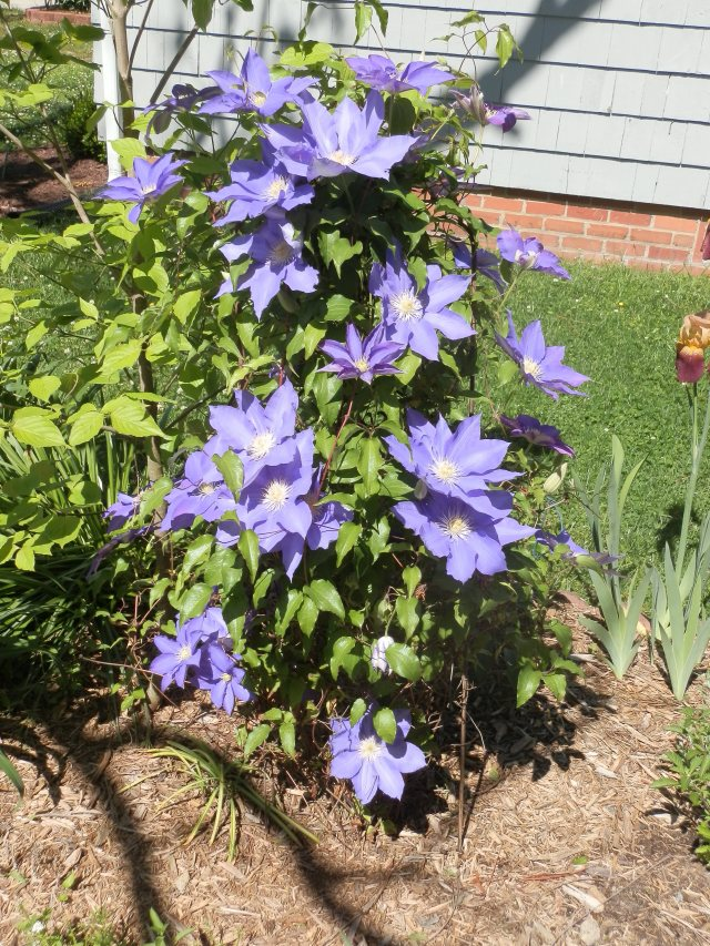 clematis vine in bloom