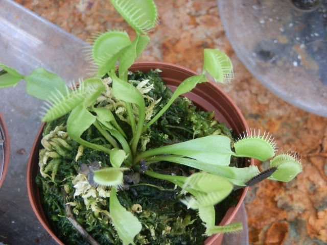Venus flytraps are fun to grow but easy to kill