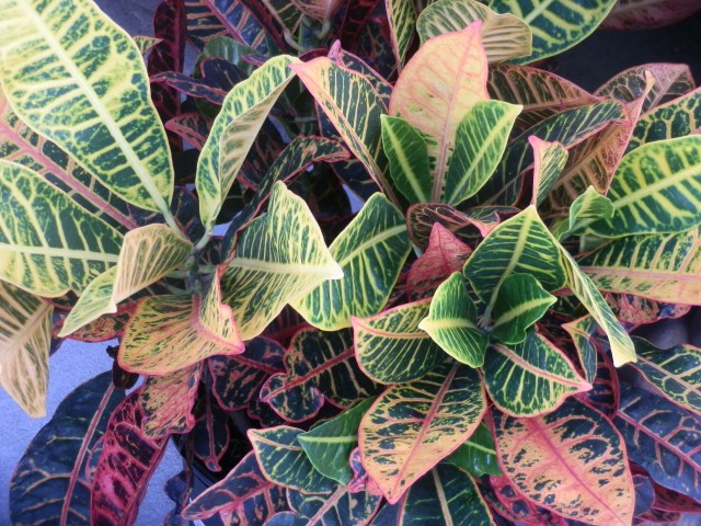 This croton has been conditioned and is ready to go inside.