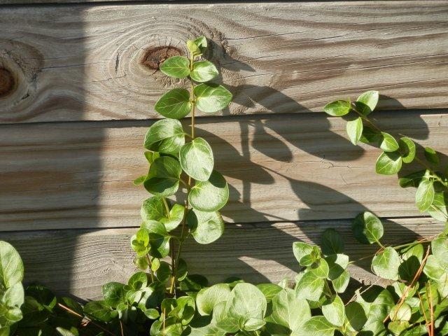 Big leaf periwinkle close up